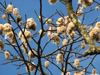 kapok fiber and seeds