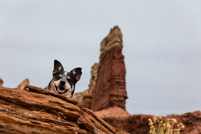 A photo of a Cattle Dog on top of rocks taken from below