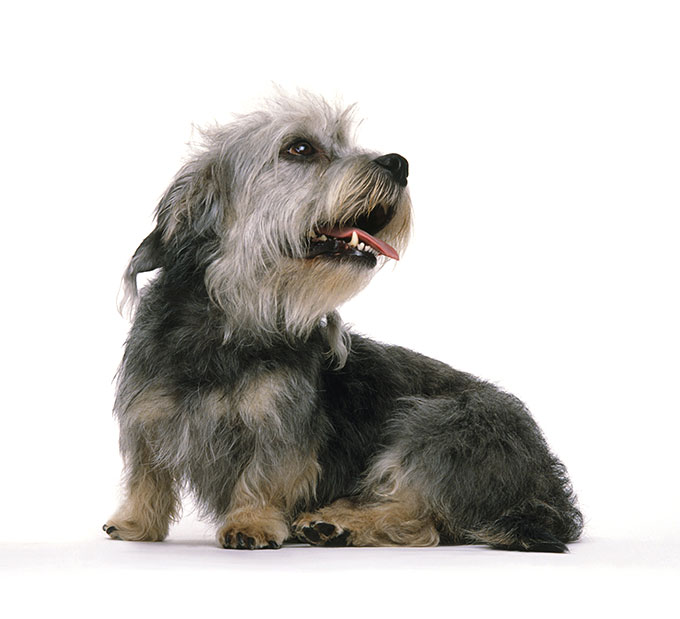 Everything About Your Dandie Dinmont Terrier Luv My Dogs
