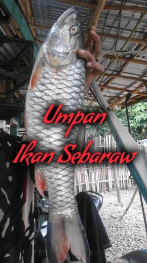 Cara Mancing dan Umpan Ikan Sebaraw √