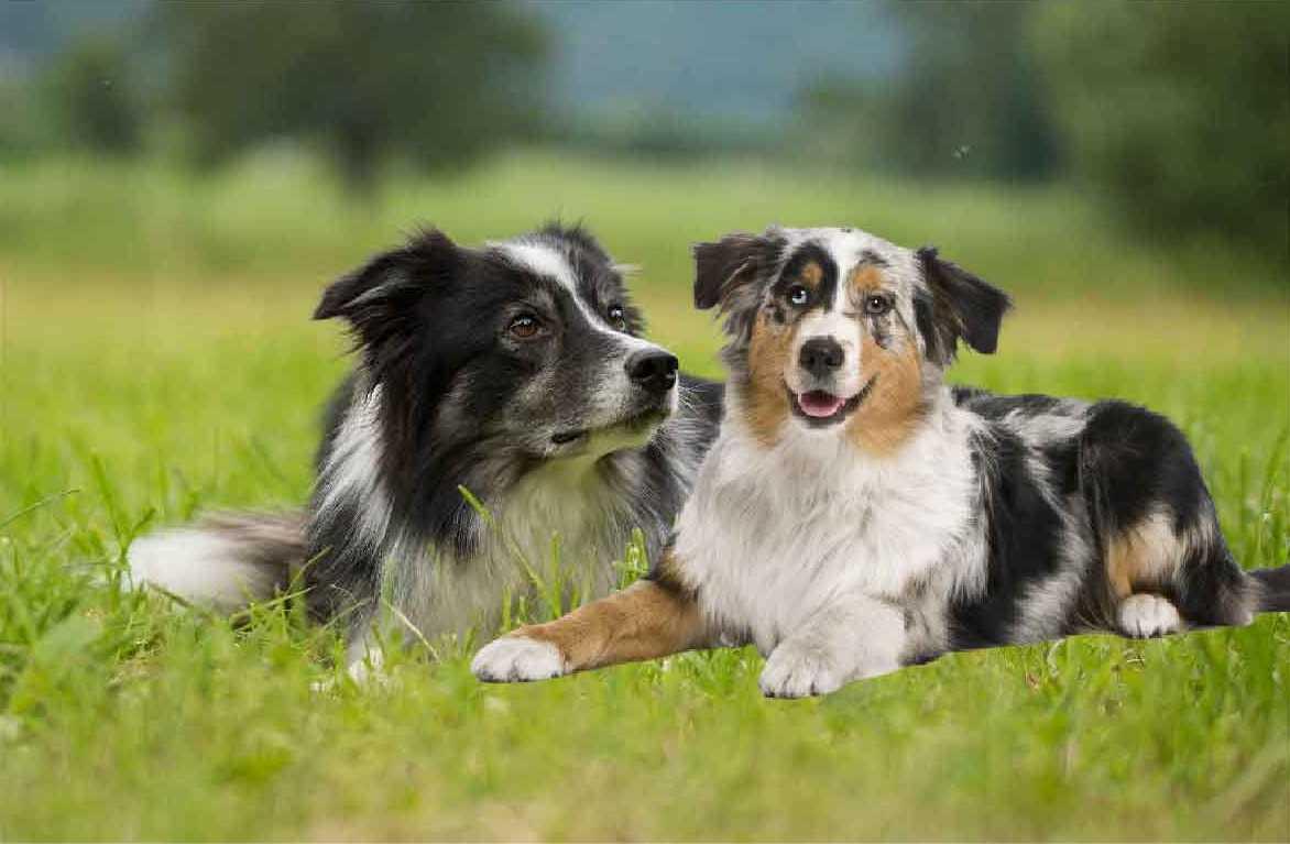 border collie, berger australien, race de chien, les animaux de la compagnie, chien de compagnie, races de chiens, chiot, aussies, australian shepherd, berger américain miniature,