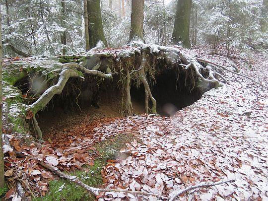 Pieczara pod korzeniami drzew.