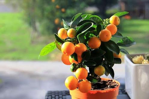 Выращиваем мандарин дома