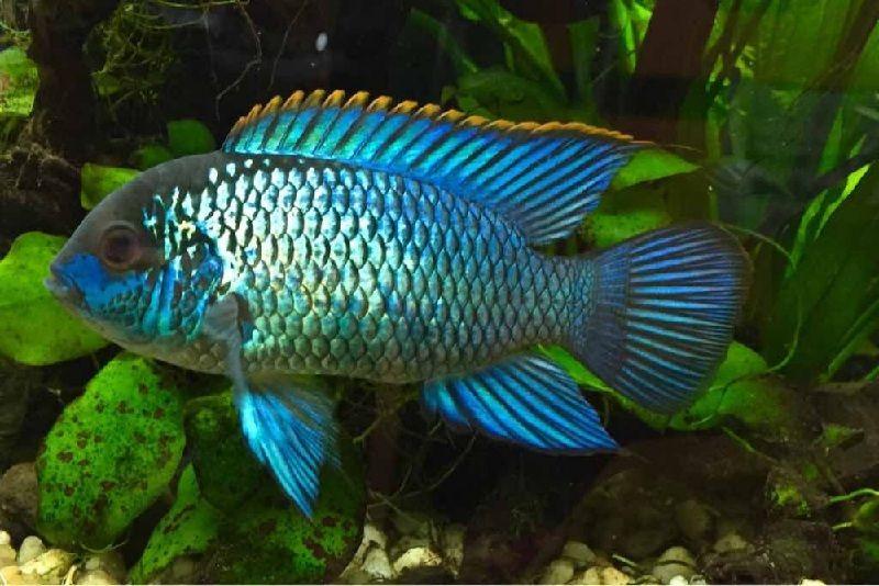ikan rasbora