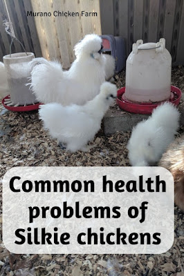 A flock of healthy silkie chickens