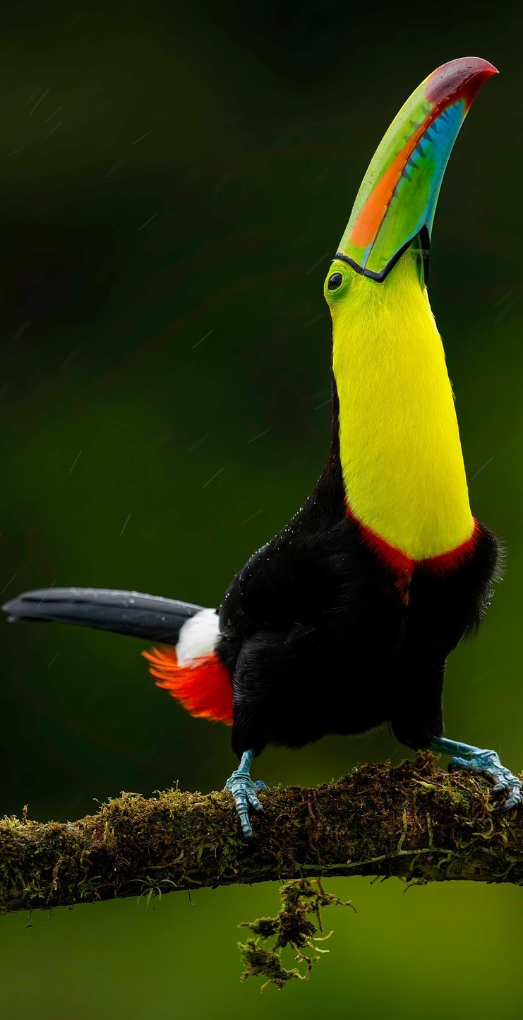 Beautiful and colorful toucan.