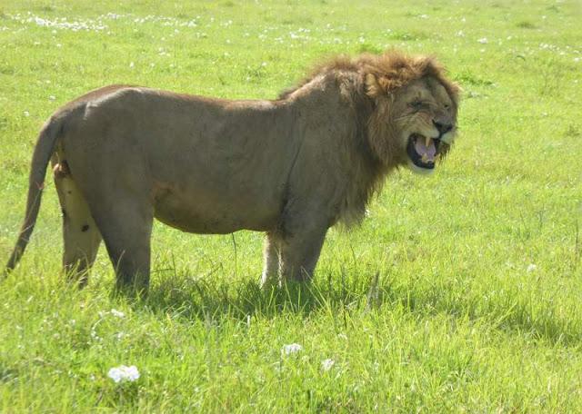 leone ruggisce cratere ngorongoro