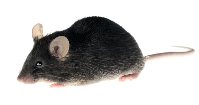 Get Rid Of Mice with Mouse Bait and Mouse Traps