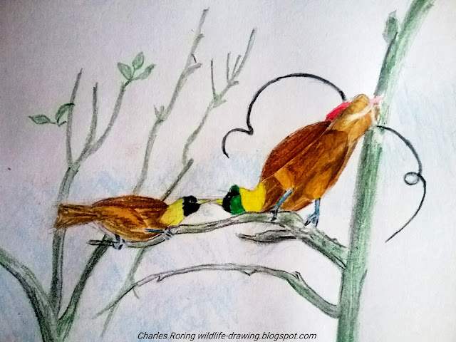 Sketch of bird of paradise in colored pencil created by Charles Roring