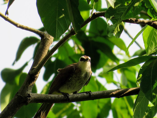 Bird in Fort Canning Park in Singapore