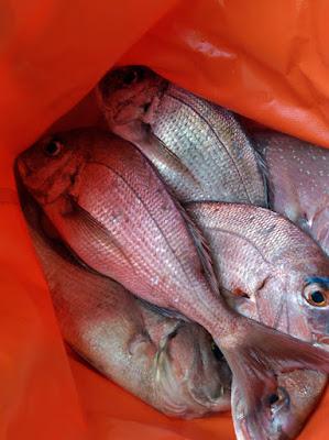 ポータボートでの釣果 真鯛6匹
