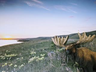 Moose At Buffalo Pound Lake