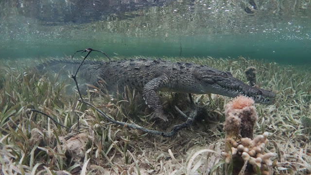 sneaking crocodile underwater