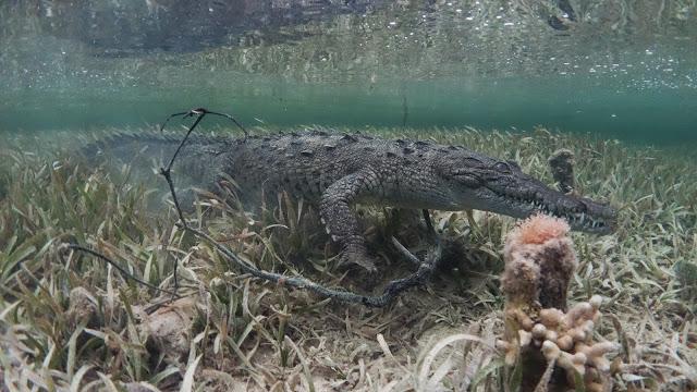 sneaking crocodile underwater