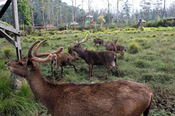Kegiatan Wisata Di Ranca Upas menangkap rusa