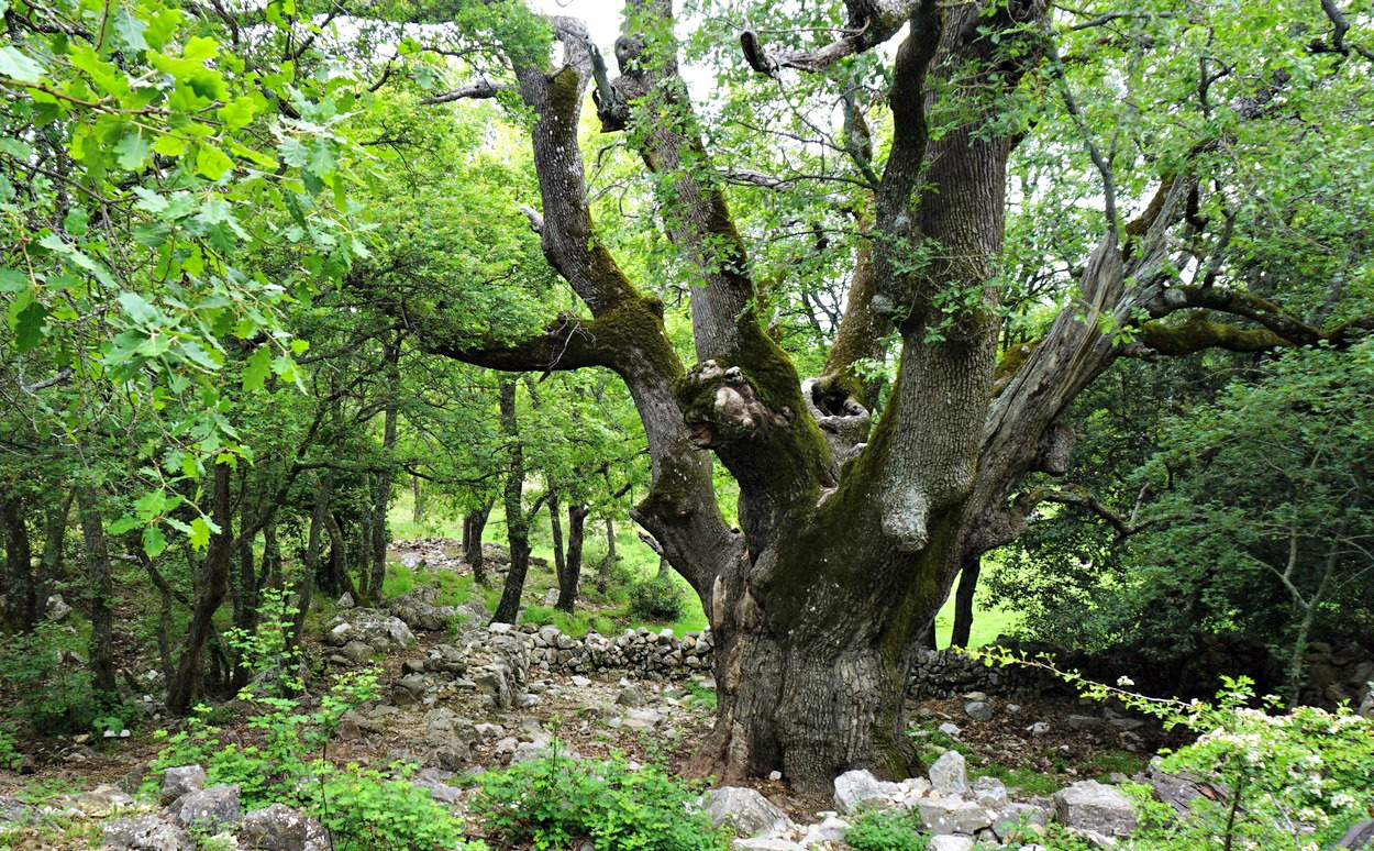 Old oak tree near Baou de la Gaude