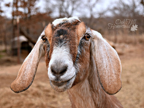 Choosing the goat breed that meets your homestead's needs
