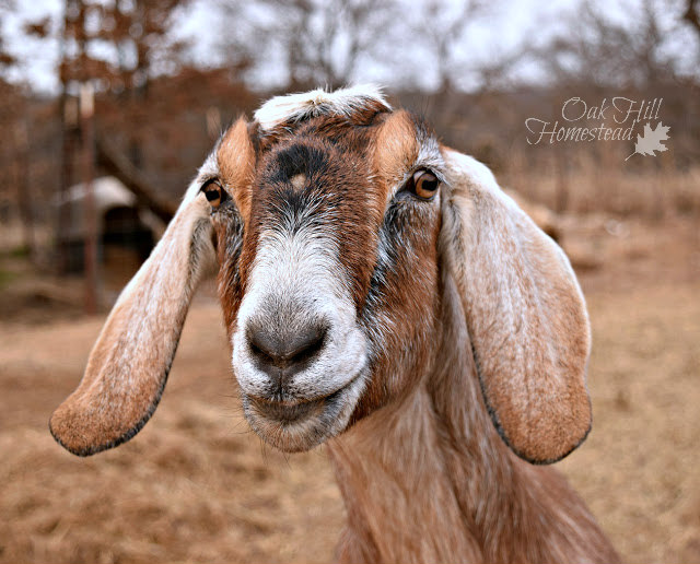 A brown Nubian dairy goat