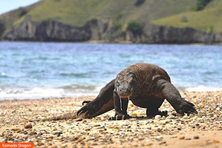 Photo: Komodo Dragon