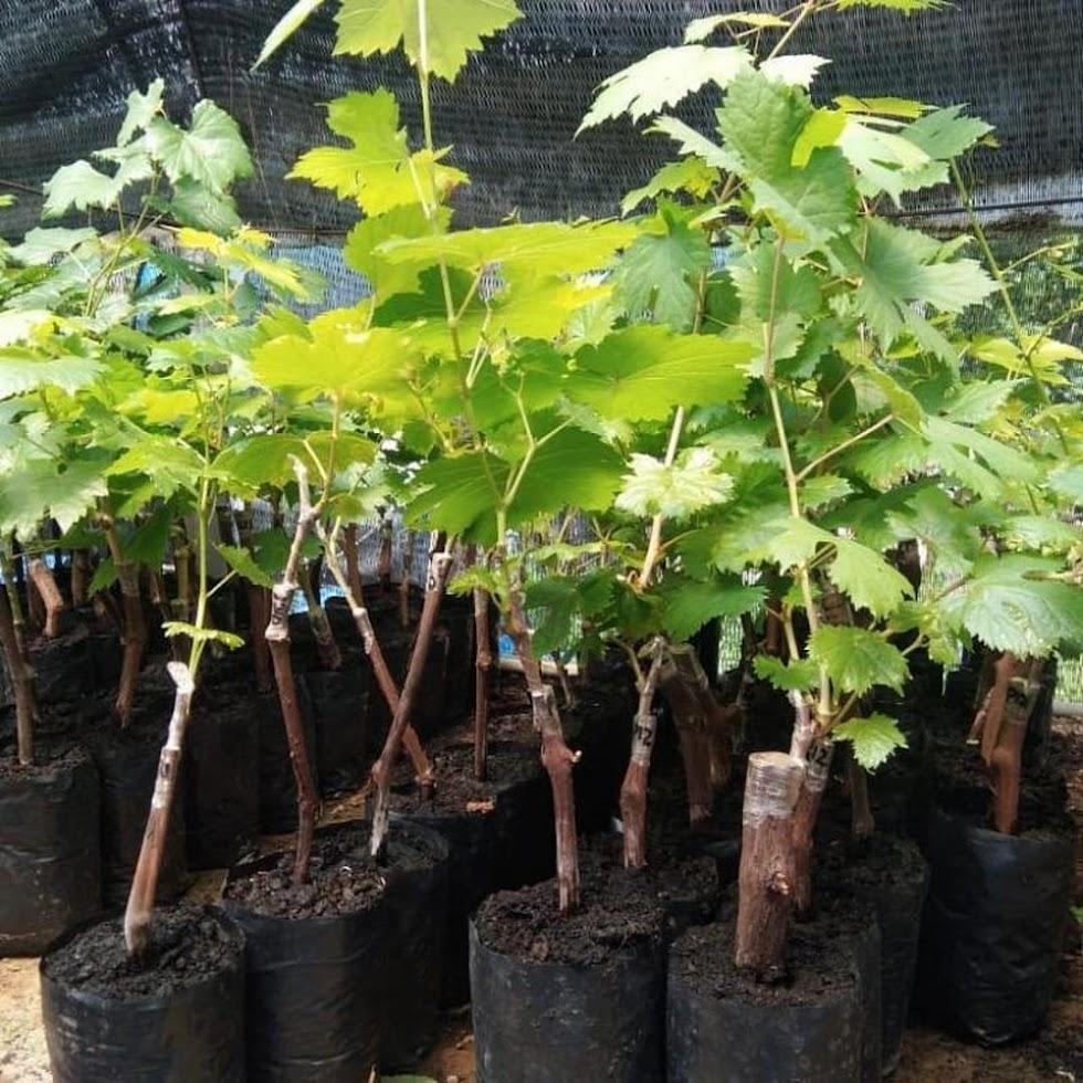 bibit anggur import nizina grafting Subulussalam