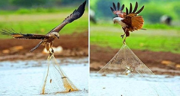 شاهد الطائر الذي وصفه الرسول بفاسق وهو يسرق سمك الصياد برشاقة تثير حسد السارقين