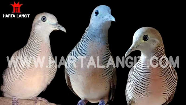 gambar 3 ekor burung perkutut lokal katuranggan