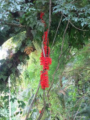 scarlet jade vine Mucuna bennettii