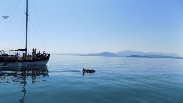 Εκατόν πενήντα ρινοδέλφινα κολυμπάνε στον Αμβρακικό