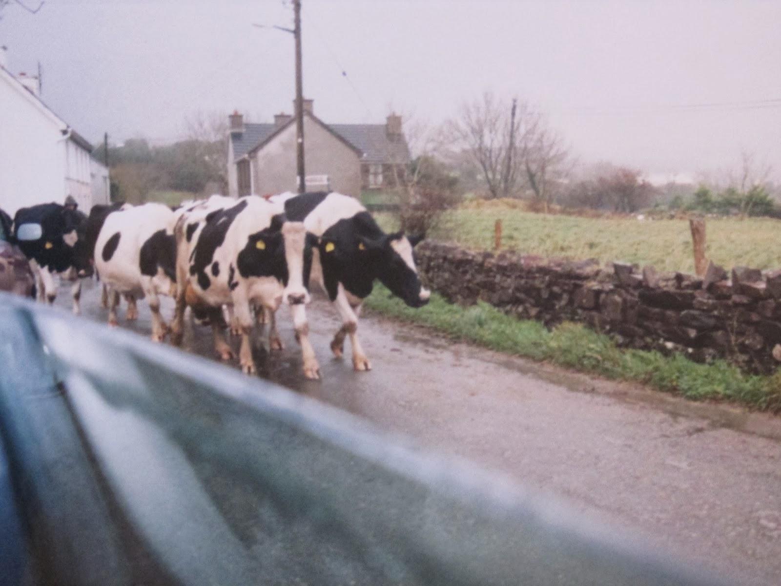 high land cows