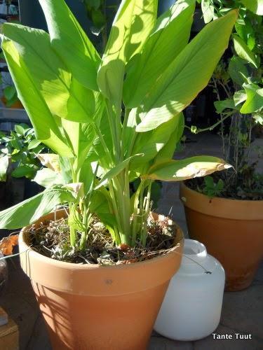 bonen groeien in banana