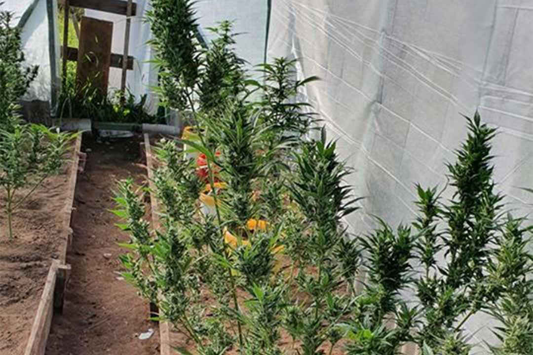 Marihuāna audzēta siltumnīcā