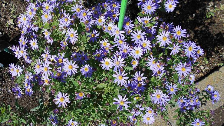 シオン(紫菀)