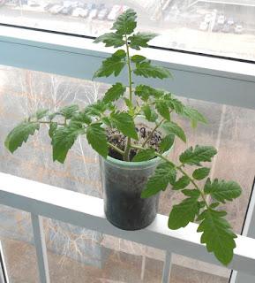 Срезанной и укорененной верхушке рассады помидора полмесяца