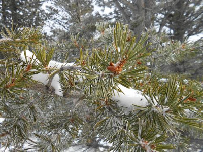 pine needles, snow, winter