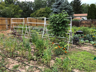 Three PVC trellises, one is covered in beans