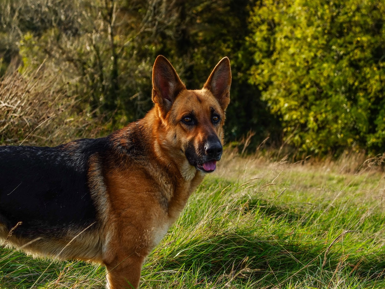 A German Shepherd female standing in the grass on a hill.
