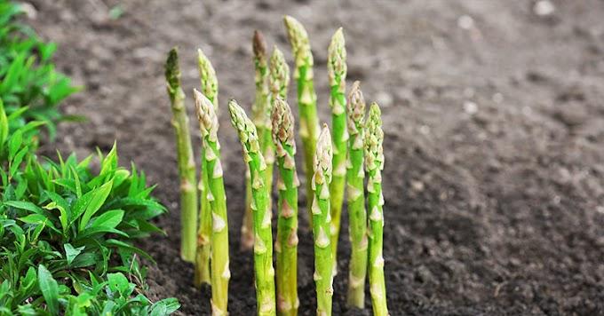¡Plante una vez y recogerá para siempre! 10 verduras perennes que debes plantar este verano