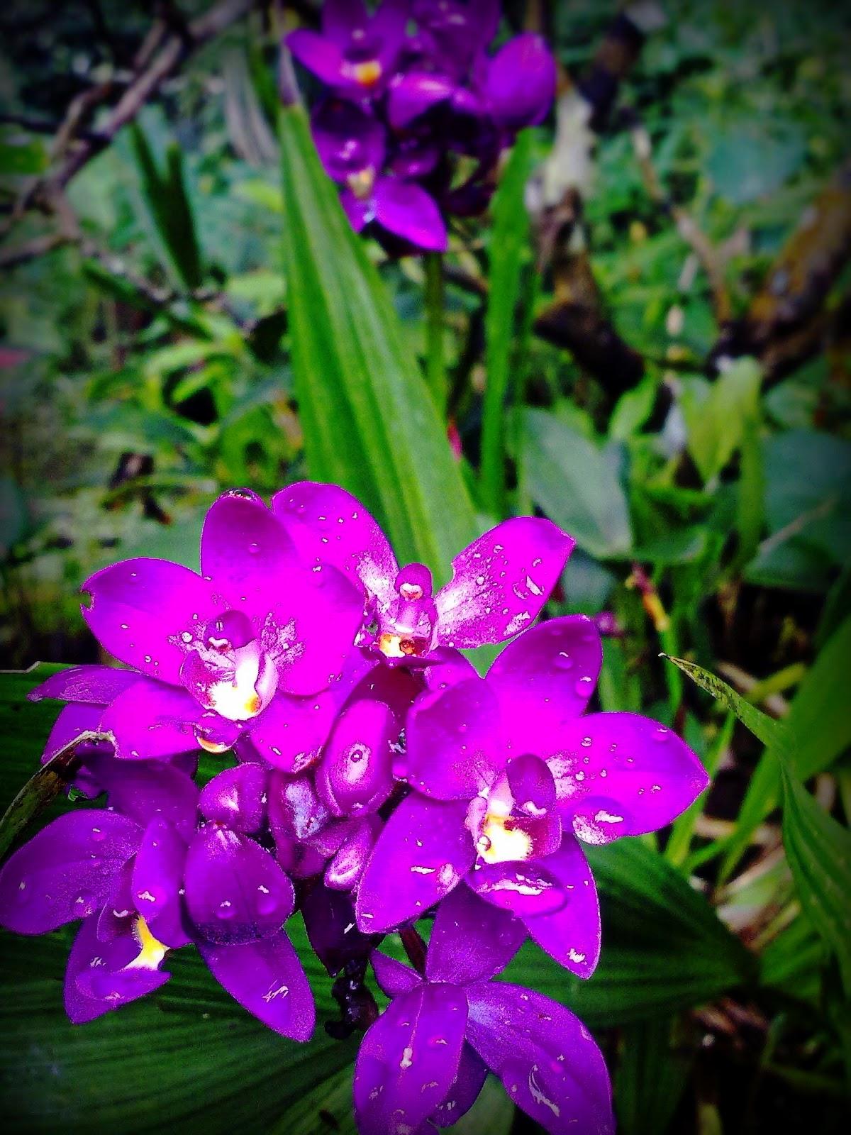 Keindahan Bunga Orkid Desa  Relaks Minda