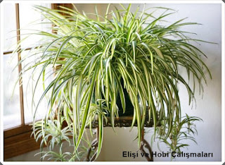 Salon Bitkilileri  15
