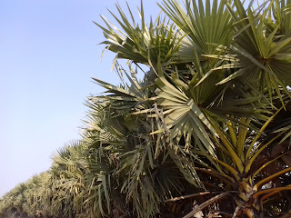 Telipot palm tree