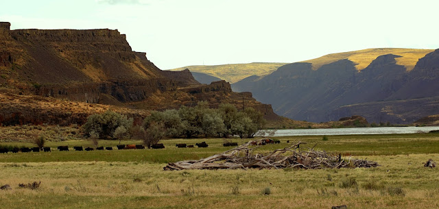 herd of cattle moving across the canyon floor near alkali lake in the coulie canyon
