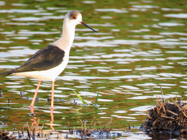 Uganda Birds: Black-winged Stilt