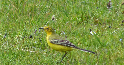 Spring Birding: Opening to Flava & Channel Wagtail