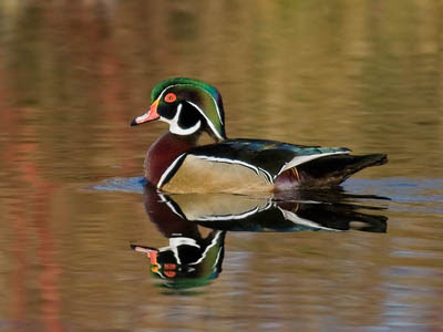 Photo of a Wood Duck on a pond