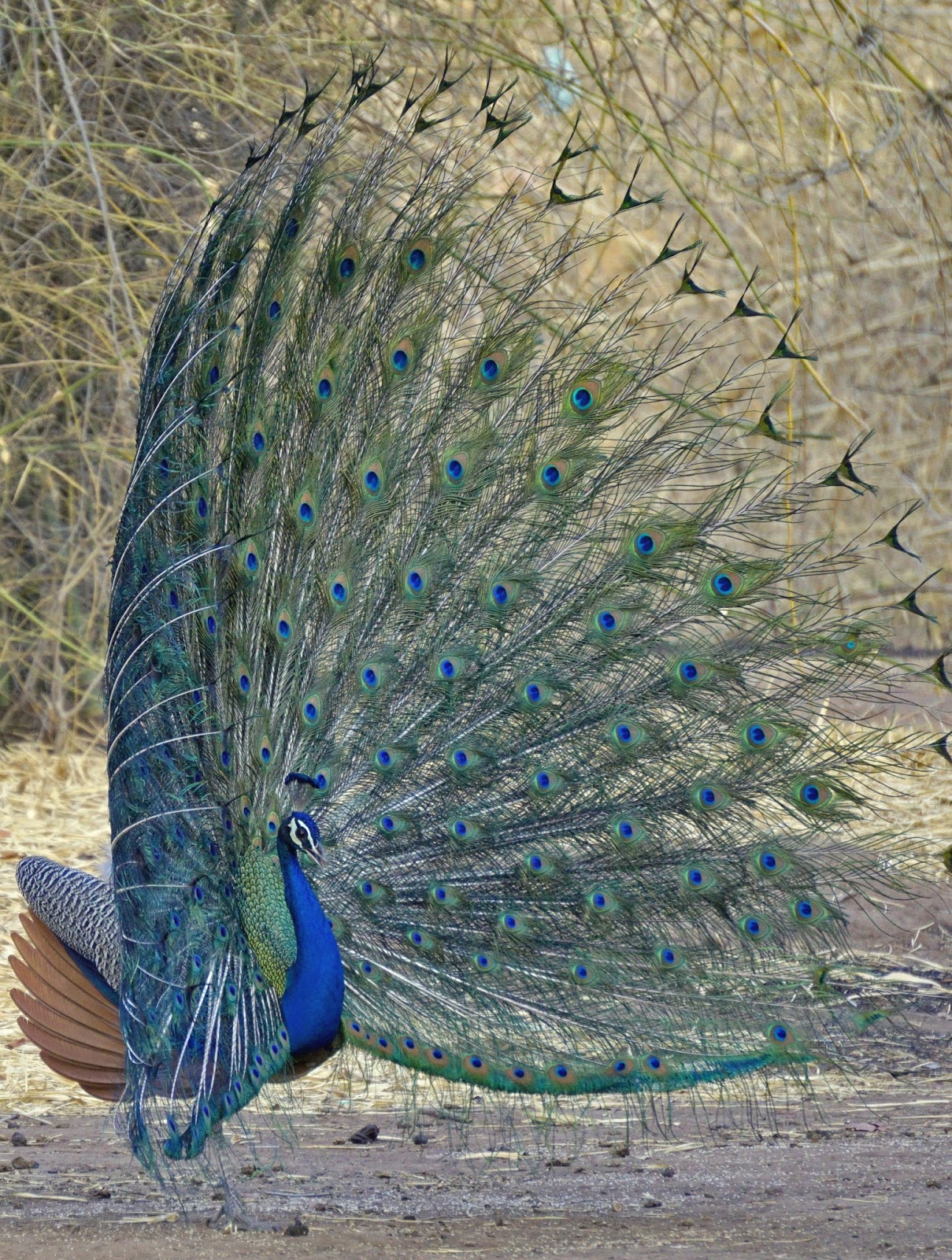 Peacock beautiful display.
