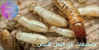 النمل الأبيض,النمل,النمل الابيض,شكل النمل الابيض,التخلص من النمل الابيض,الابيض,نمل,أبيض,الكويت,نمل الابيض,ما هو النمل الأبيض,ملكة النمل الابيض,تكاثر النمل الابيض,خطوره النمل الابيض,الحشرات,النمل الطائر,مكافحة النمل الابيض,الأبيض