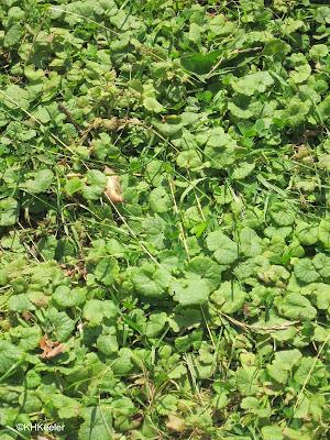 ground ivy, Glechoma hederacea