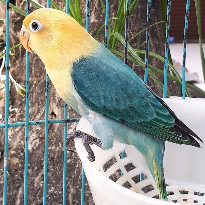 Jenis Burung Lovebird Tercantik 2020