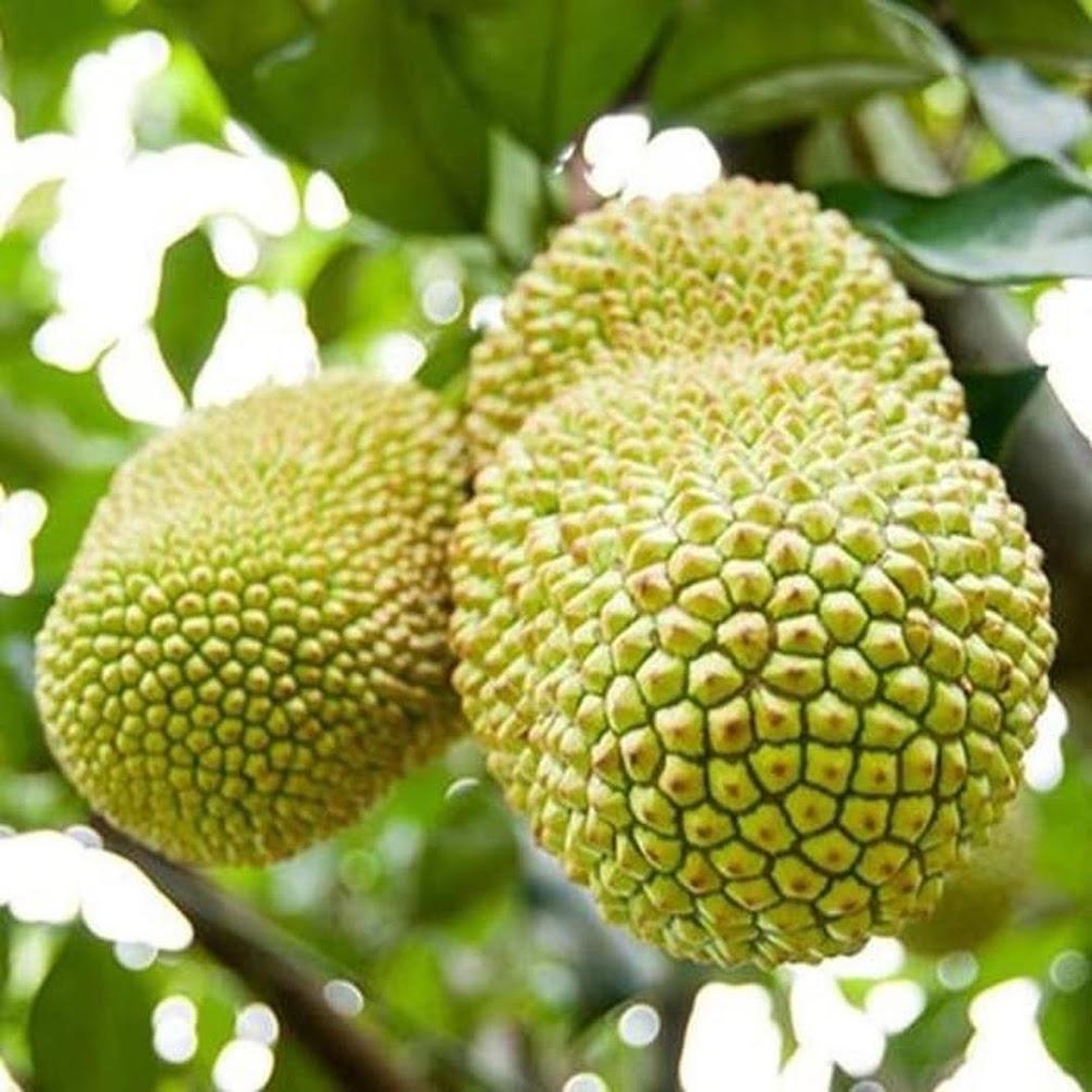 Tanaman Bibit Buah Cempedak Durian Okulasi Cepat Berbuah Bau-Bau