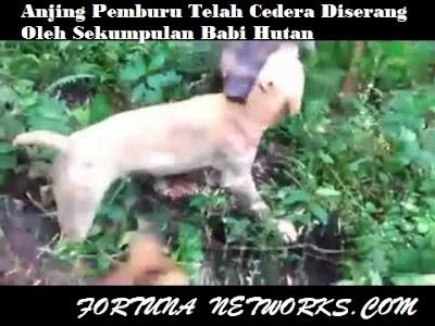 """<img src=""""BerburuBabi.jpg"""" alt=""""Kisah Benar, Anjing Pemburu Telah Cedera Diserang Oleh Sekumpulan Babi Hutan"""">"""